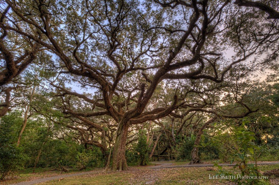 Live Oaks from Tree Tops Park