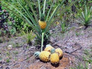 pineapples 300x225 The Ocean Ridge Report Jul 2013