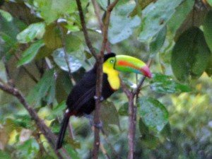 Keel billed toucan 300x225 The Ocean Ridge Report December 2013   Panama Real Estate For Sale